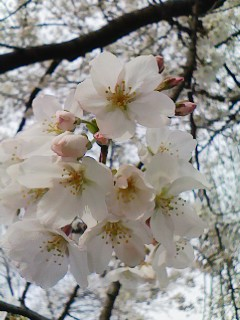 A close-up of some cherry blossoms.
